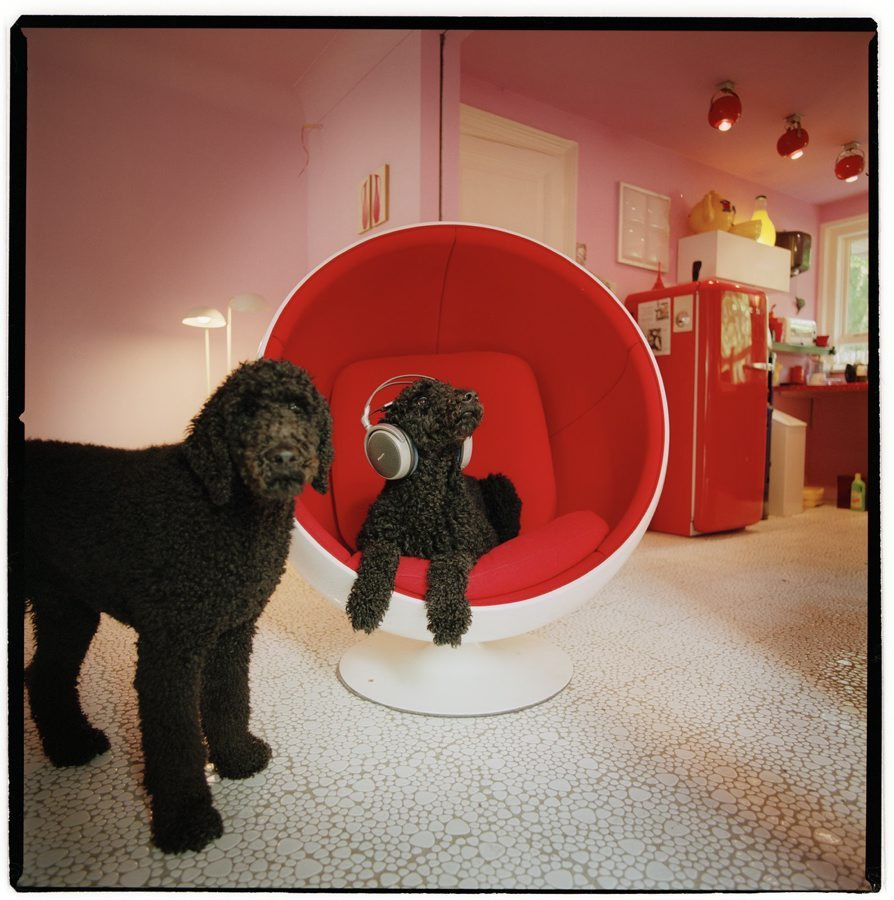 poodle dogs